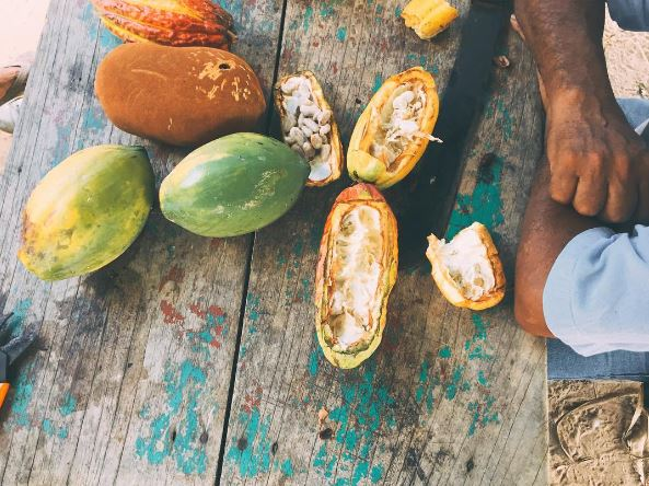 Cacao, cocoa beans grown in the Peruvian Amazon for chocolate